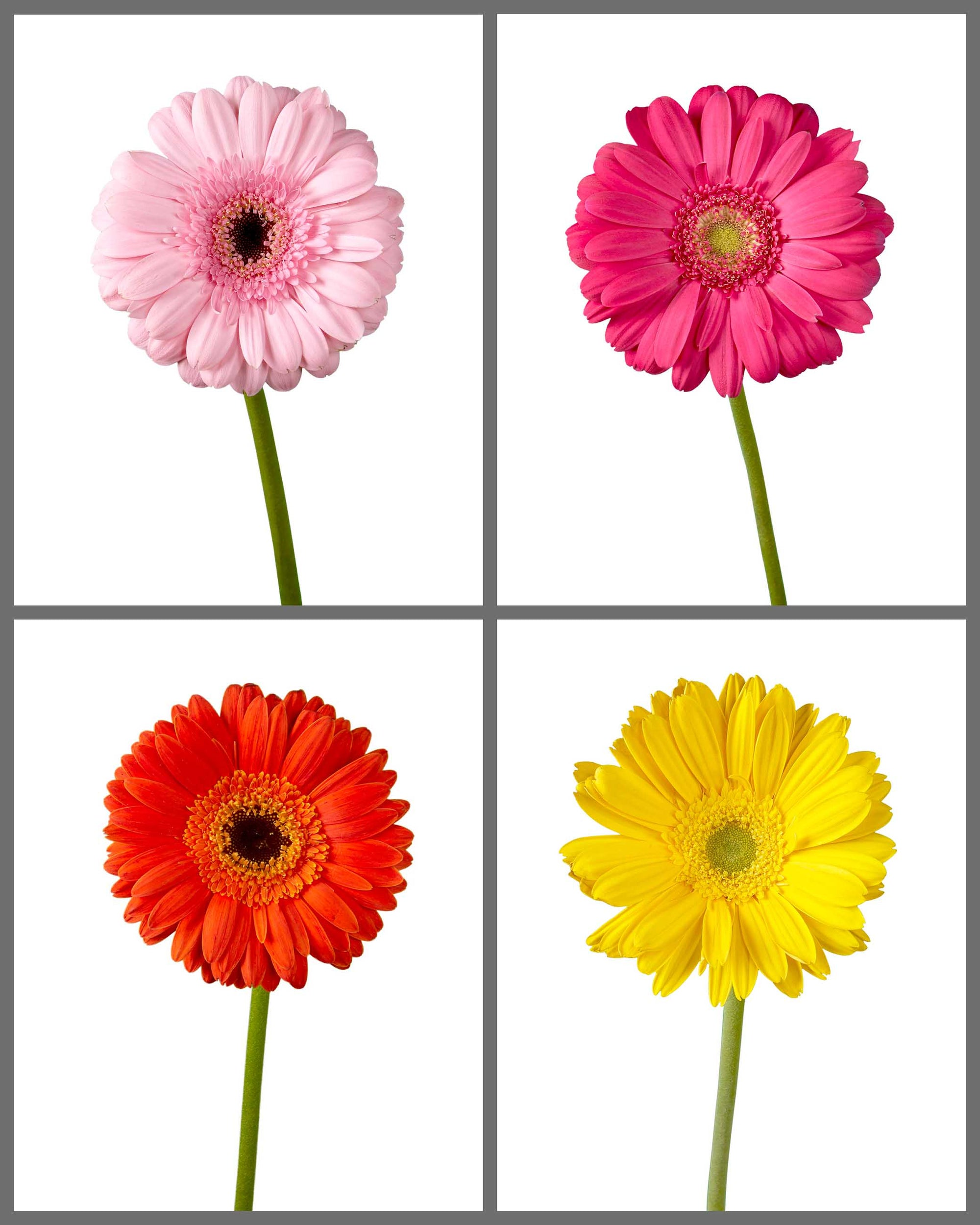 Jumbo Gerber Daisy Mixed Box 372