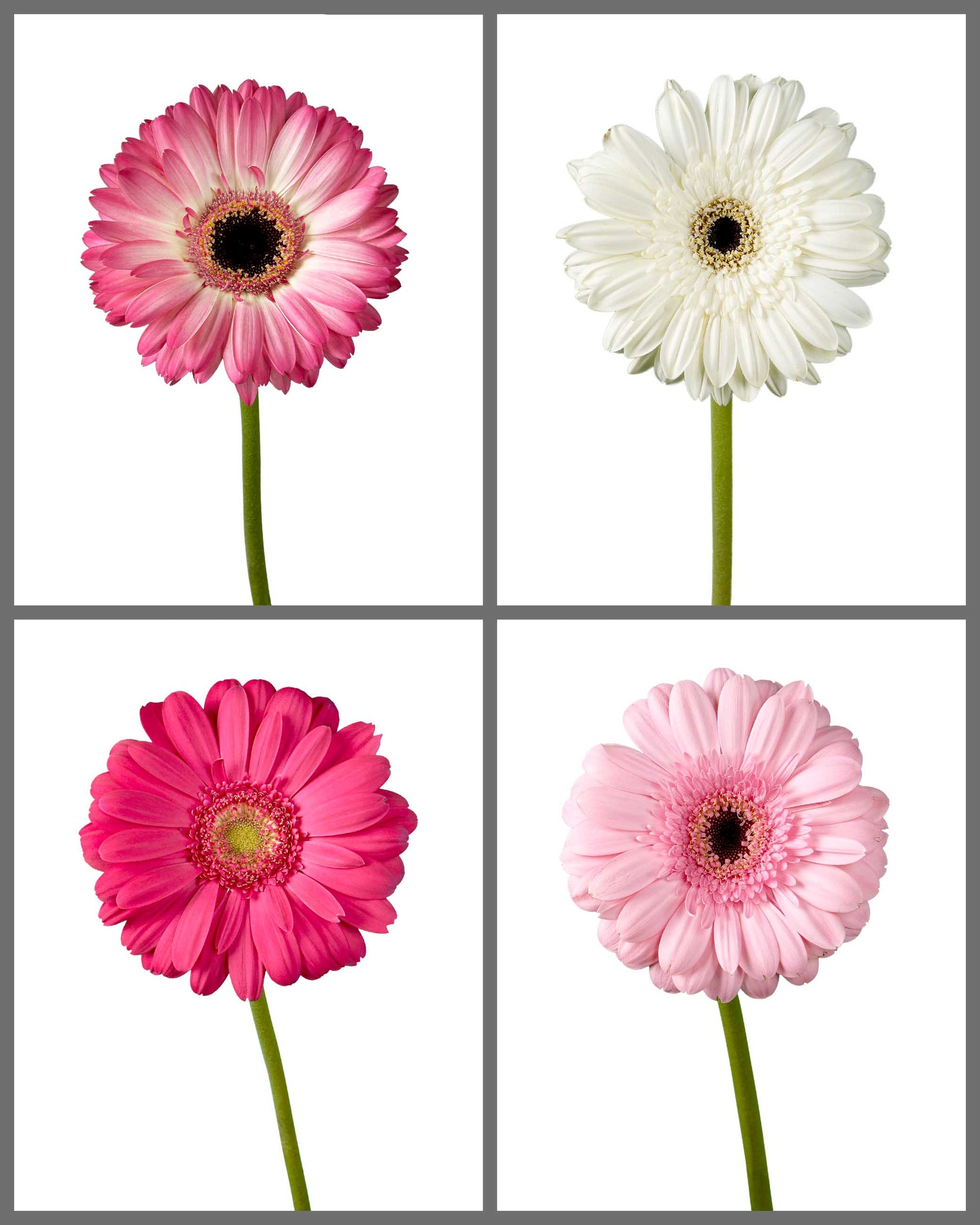Jumbo Gerber Daisy Mixed Box 373