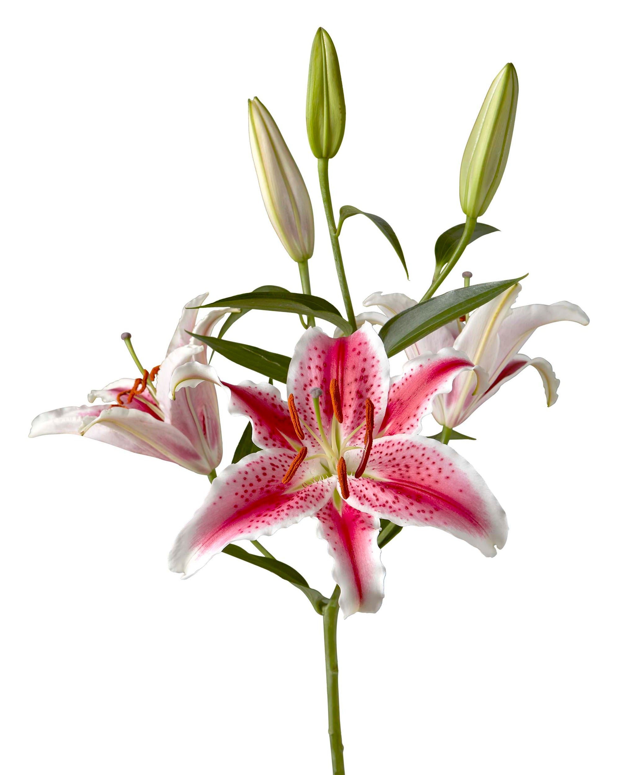 Starfighter Oriental Lily 3-5 Bloom
