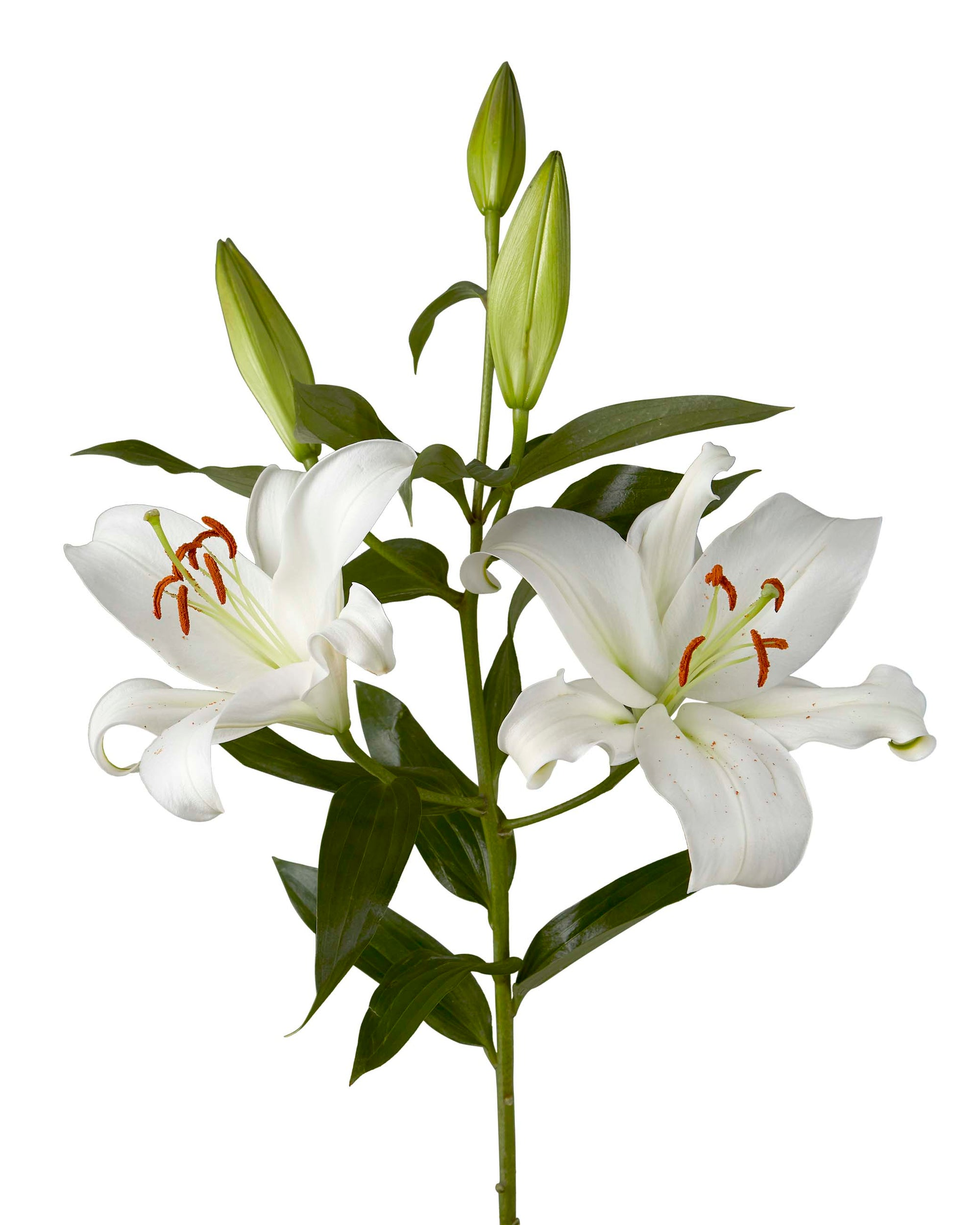 Zambezi Oriental Lily 3-5 Bloom
