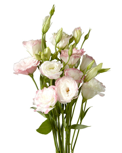 Mariachi Pink Lisianthus