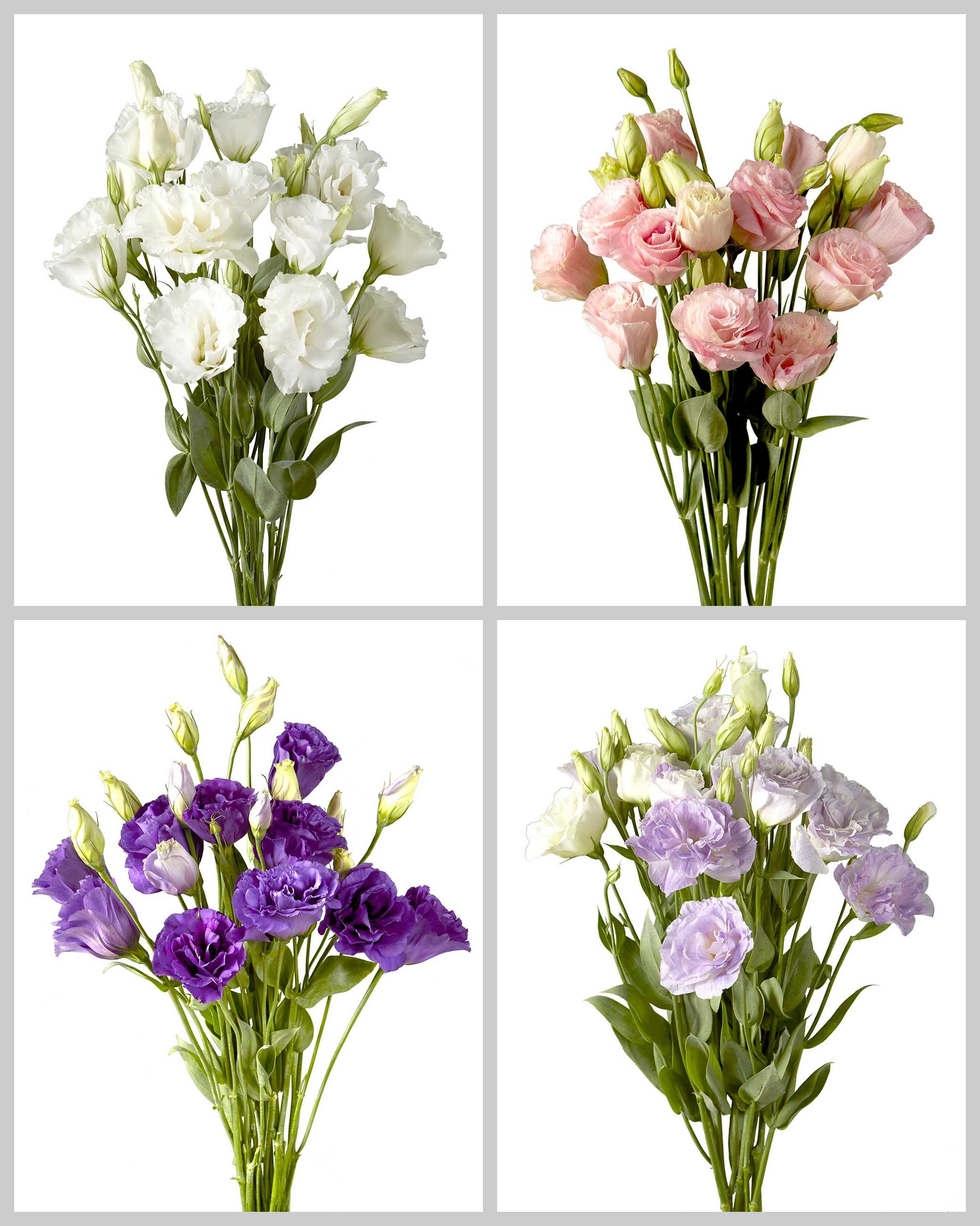 Lisianthus Mixed Box 760