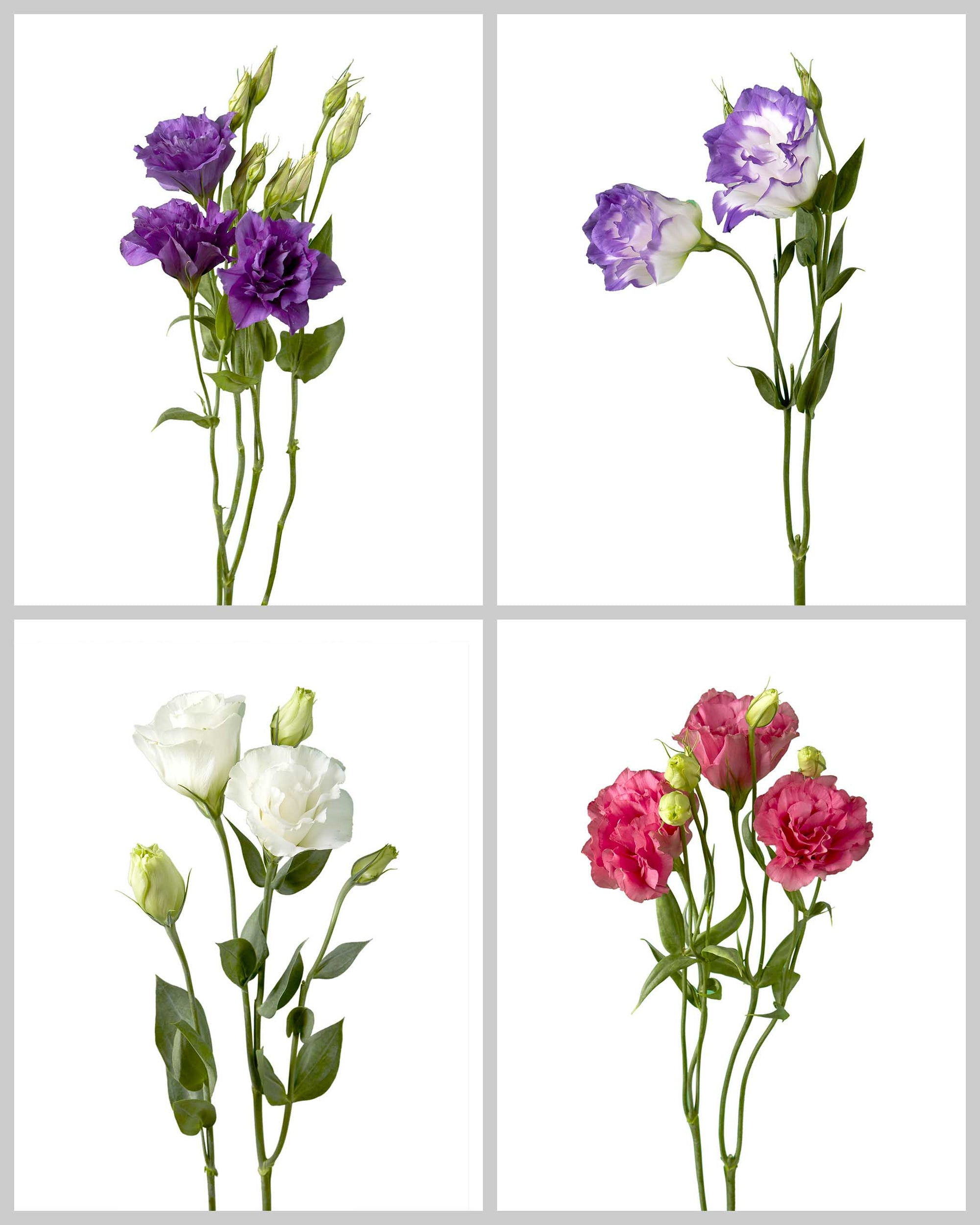 Lisianthus Flare Mixed Box 772