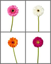 Mini Gerber Daisy Mixed Box 331