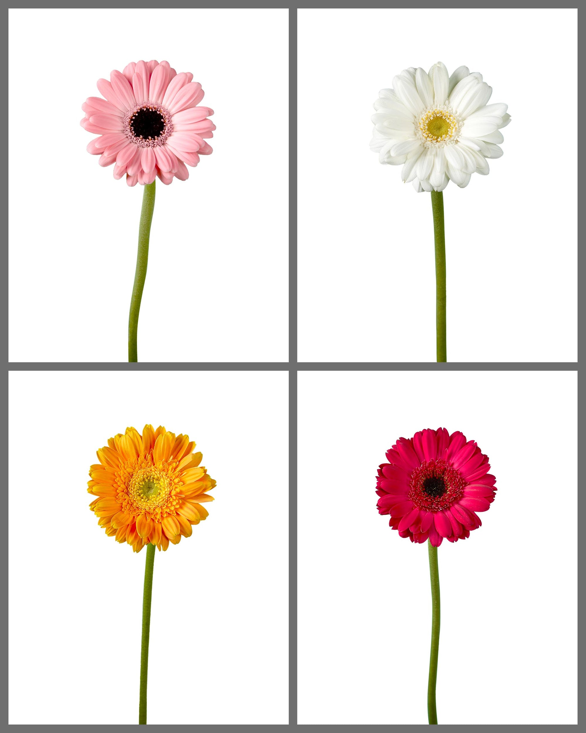 Mini Gerber Daisy Mixed Box 332