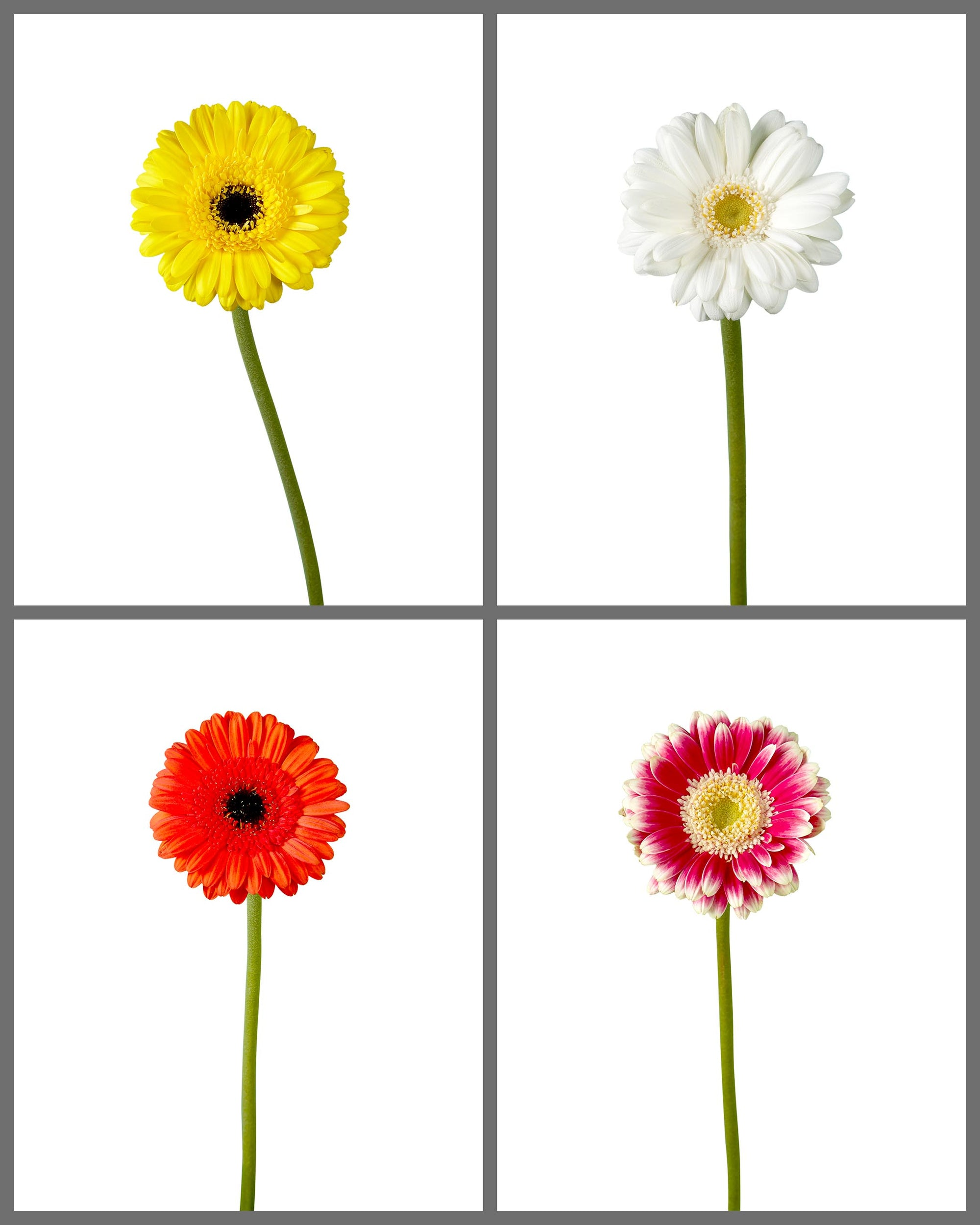 Mini Gerber Daisy Mixed Box 333