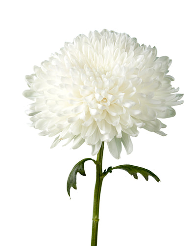 Vladamir White Cremon Chrysanthemum