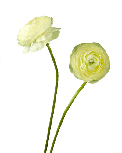 Cream Yellow Ranunculus