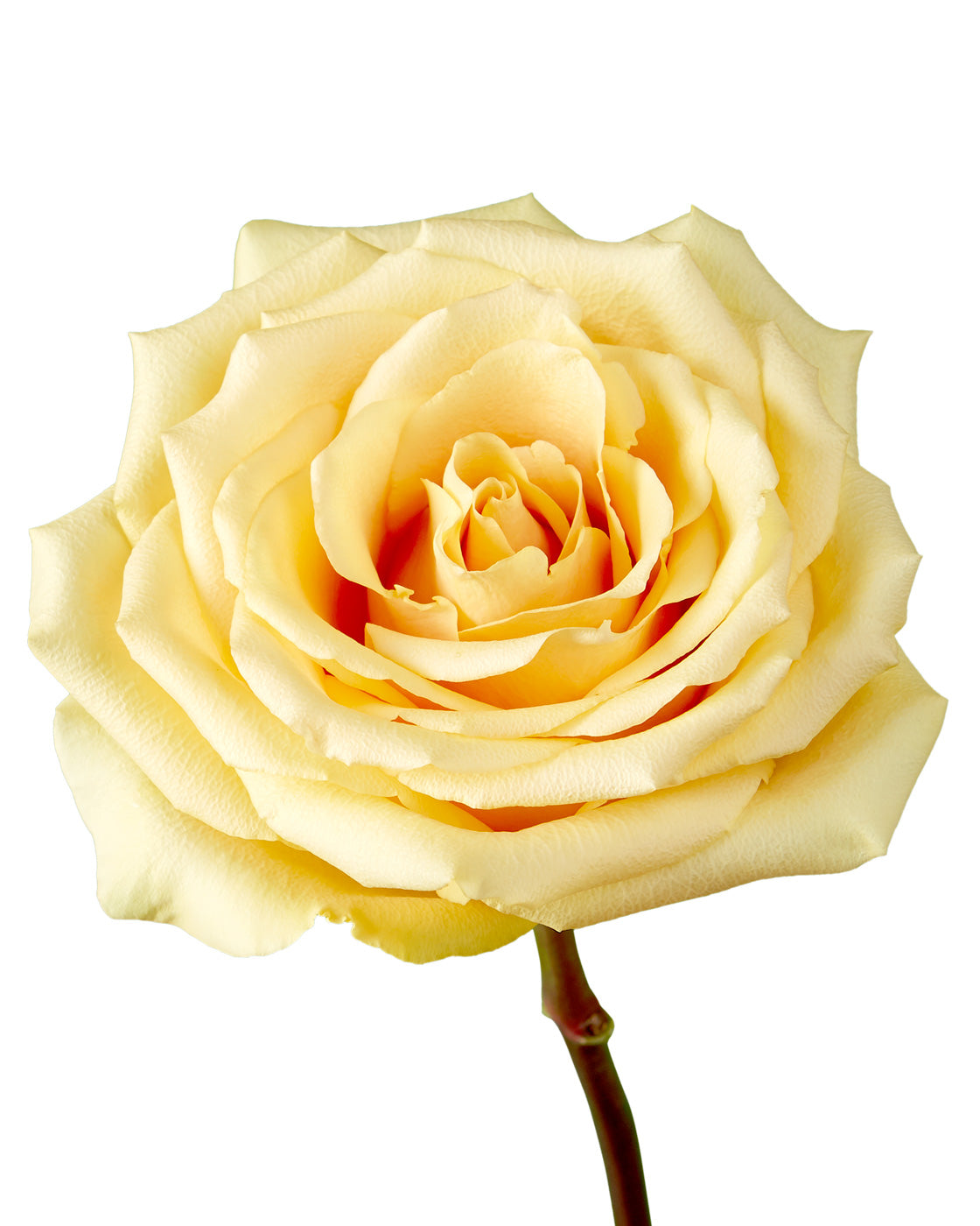 Butterscotch Rose