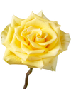 High and Yellow Rose