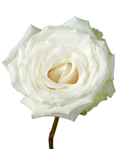 White Dove Rose