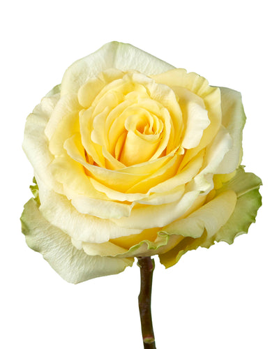 Yellow Finesse Garden Rose