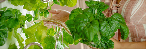 Hydroponic Indoor Garden Grows Veggies Indoors