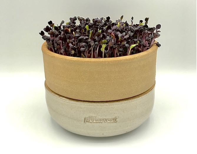 Your microgreens will become more vibrant when they are exposed to indirect sunlight