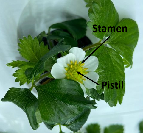 Strawberry Stamen and Pistil for Pollination