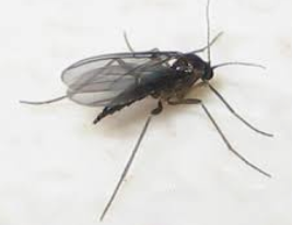 Remove Fungus Gnats from Your Indoor Garden