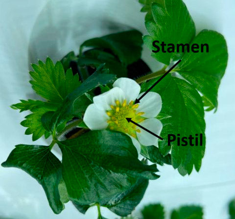 Components Of The Strawberry Plant