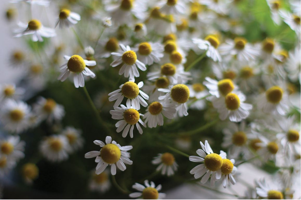 Common Chamomile Seeds (Organic)