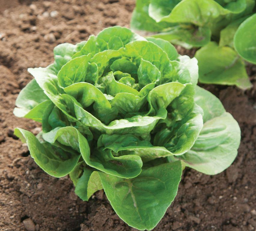 Dragoon Mini-Romaine Seed (Organic)