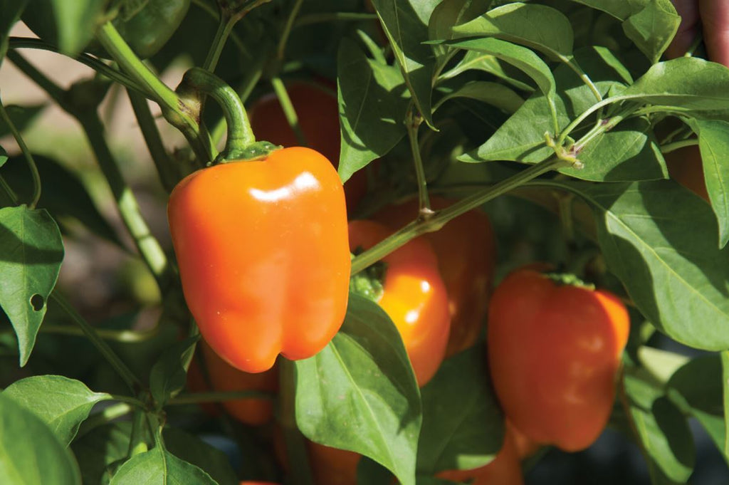 Eros Mini Bell Pepper Seeds (Organic)
