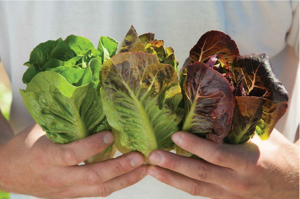 Mini-Romaine Trio (Organic)