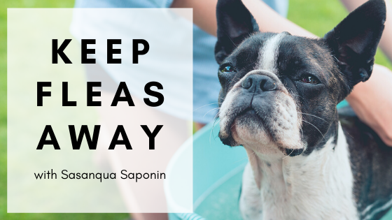 Keep the Fleas Away with Sasanqua Saponin