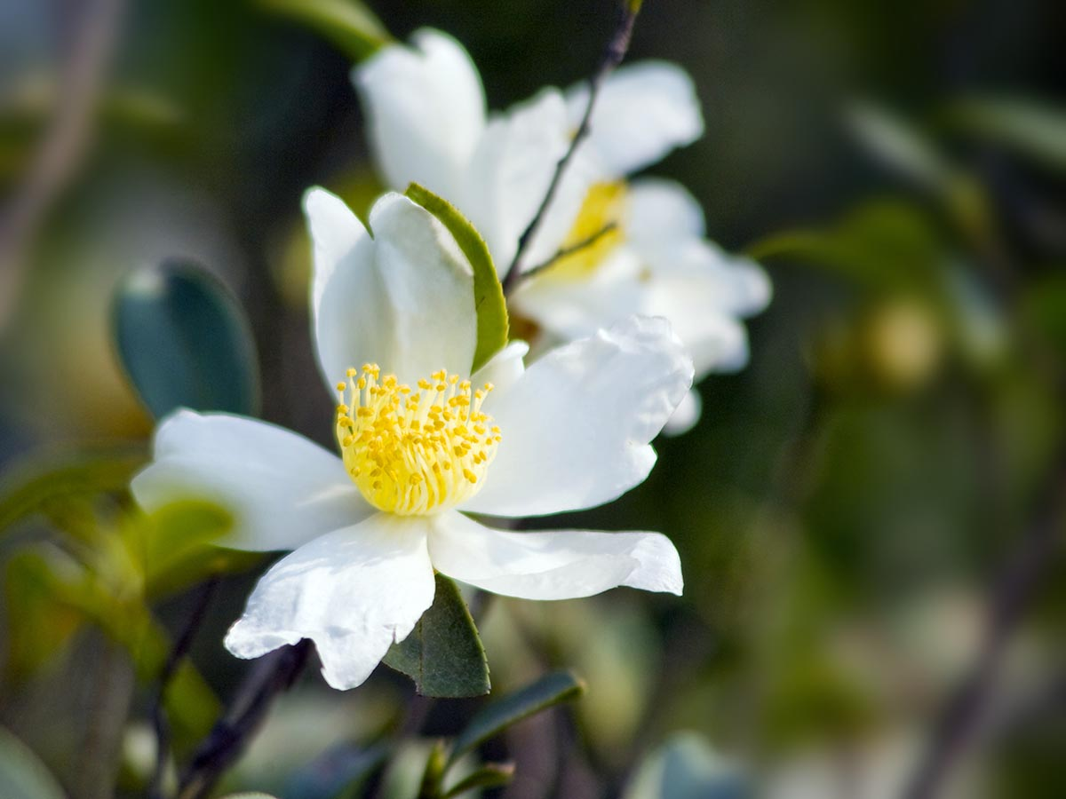 Picture of camellia flowers