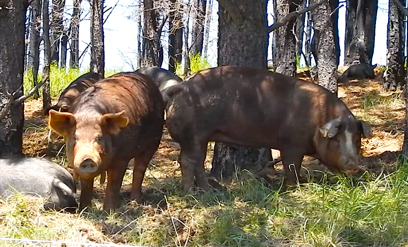 Rocky Mountain Forest and Pasture Raised Pork - from the Black Forest in Colorado