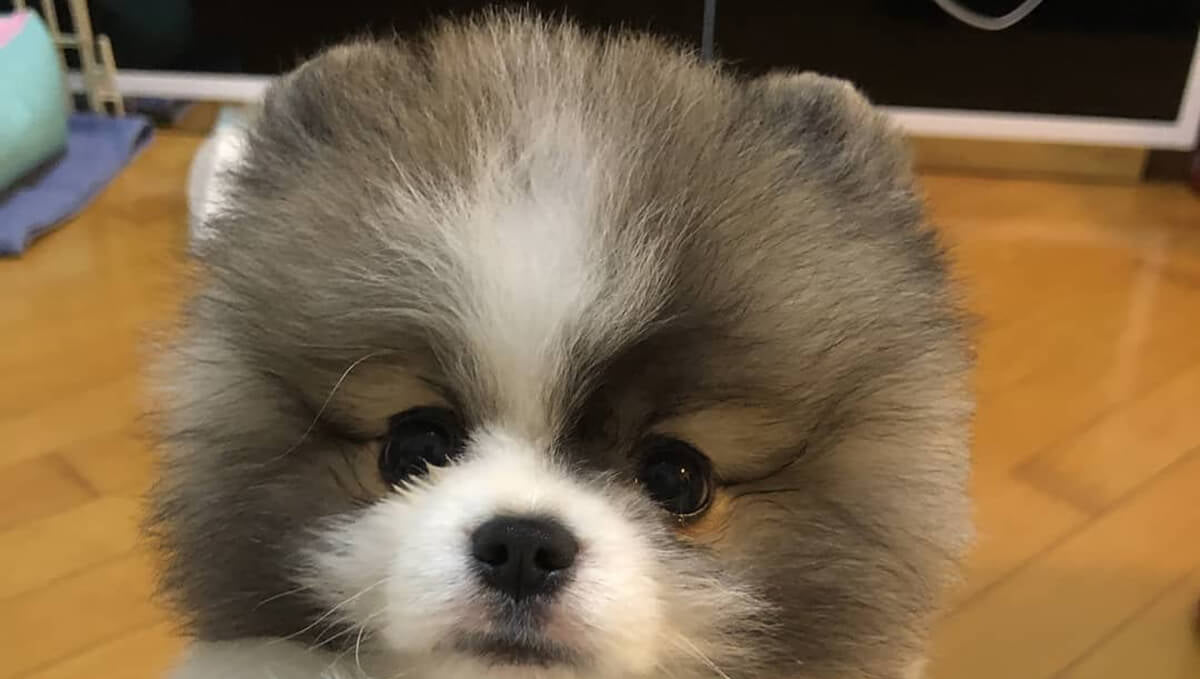Teacup Pomeranian Is The Best Apartment Dog Ever! Here's Why