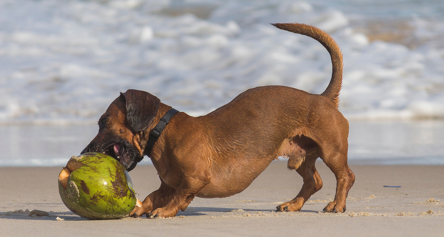 Benefits of eating coconut for your dog