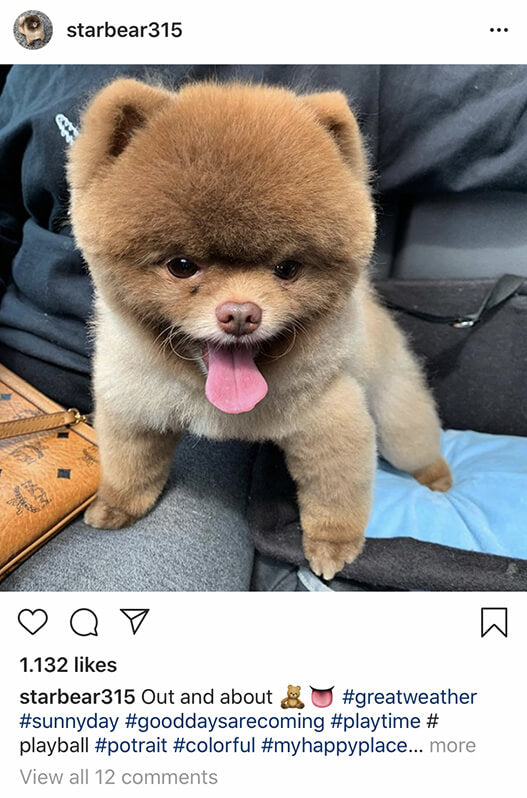 Teacup Pomeranian Is The Best Apartment Dog Ever! credit: @starbear315
