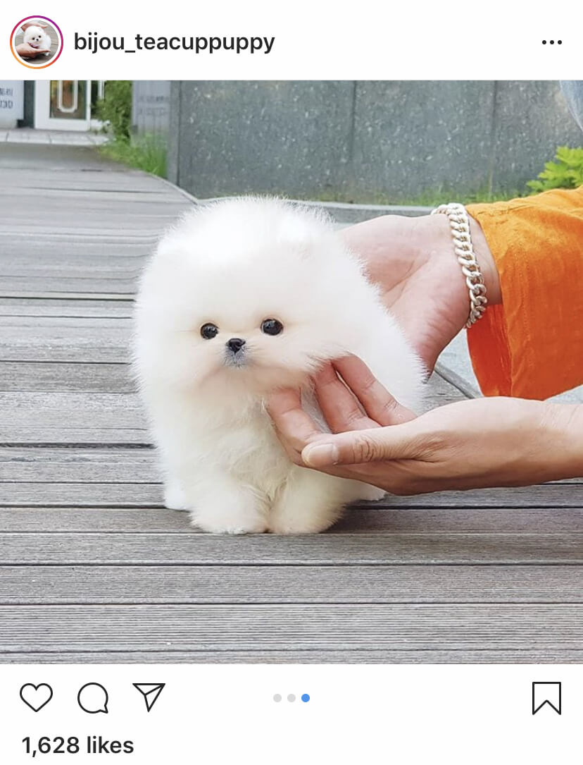 Teacup Pomeranian by bijou_teacuppuppy