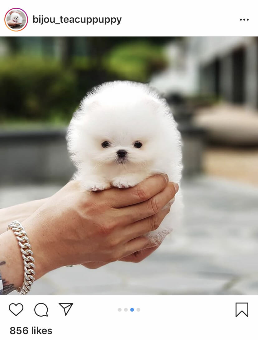 Teacup Pomeranian is so small and looks like a doll