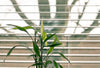 The top of a green leafy plant in front of a window with open blinds.