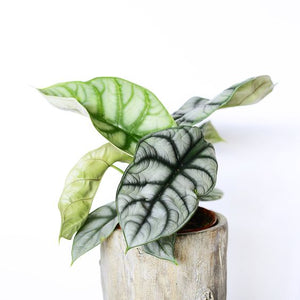 Silver Dragon Alocasia Small