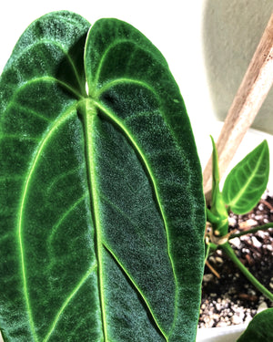 Anthurium Warocqueanum Dark Form Auction