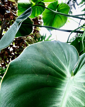 Philodendron Rugosum