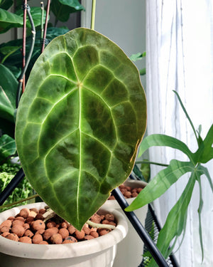 Anthurium Forgetii small