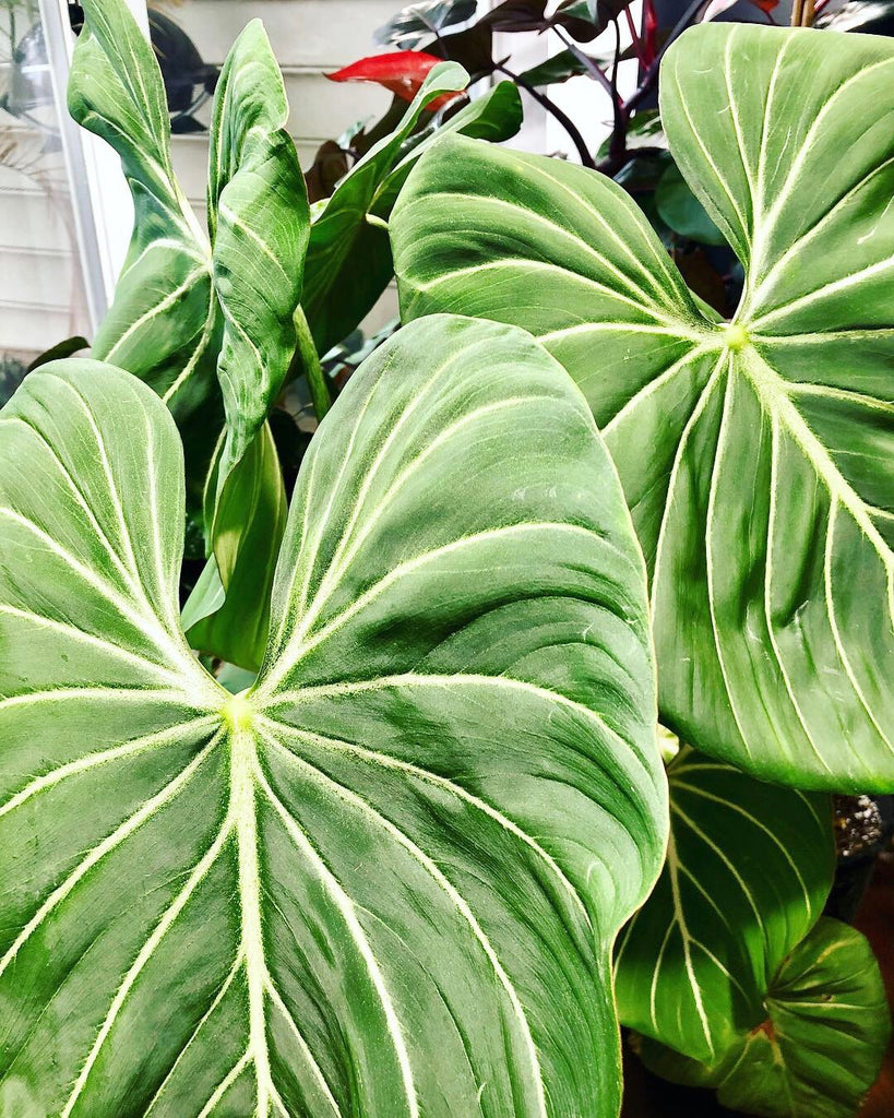 Philodendron Gloriosum Large