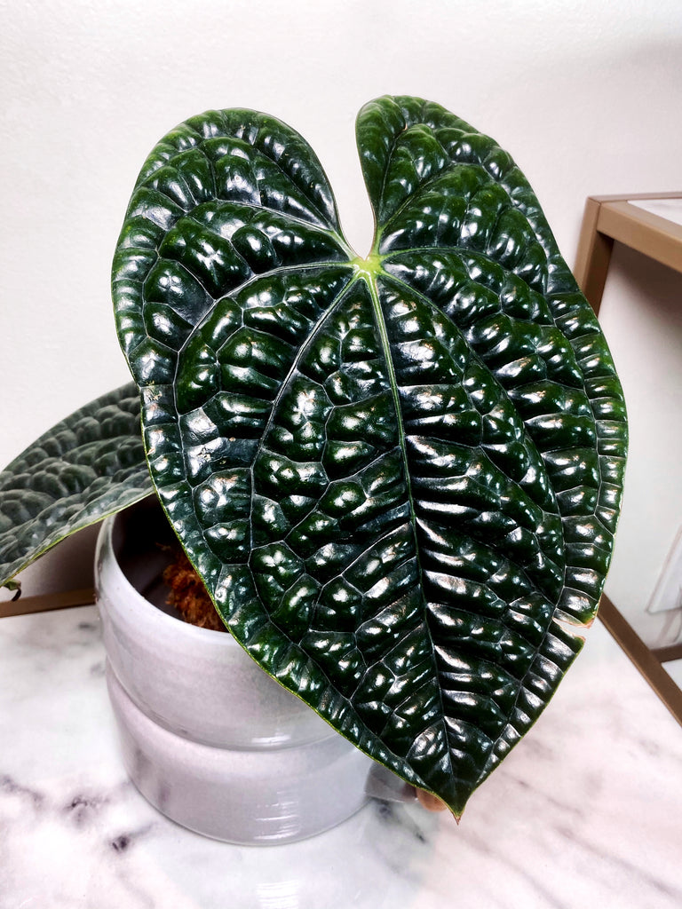 Anthurium Luxurians Auction