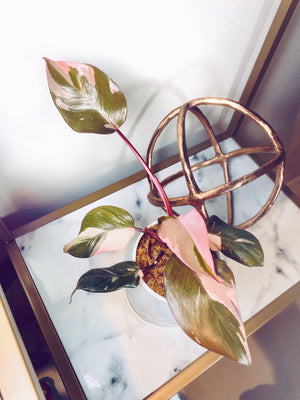 Philodendron Pink Princess Auction