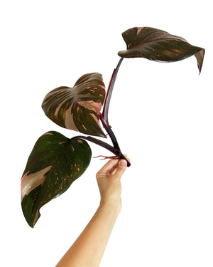 Philodendron Pink Princess Cutting LARGE, Mature, Rooted