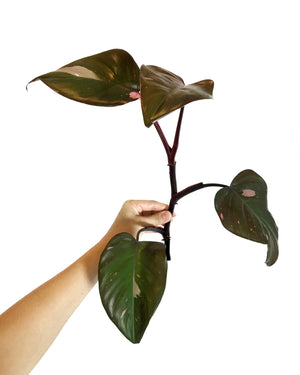Philodendron Pink Princess Cutting LARGE, Mature