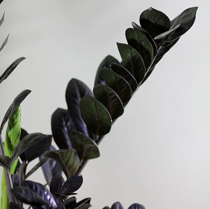 ZAMIOCULCAS ZAMIFOLIA 'BLACK RAVEN' MEDIUM