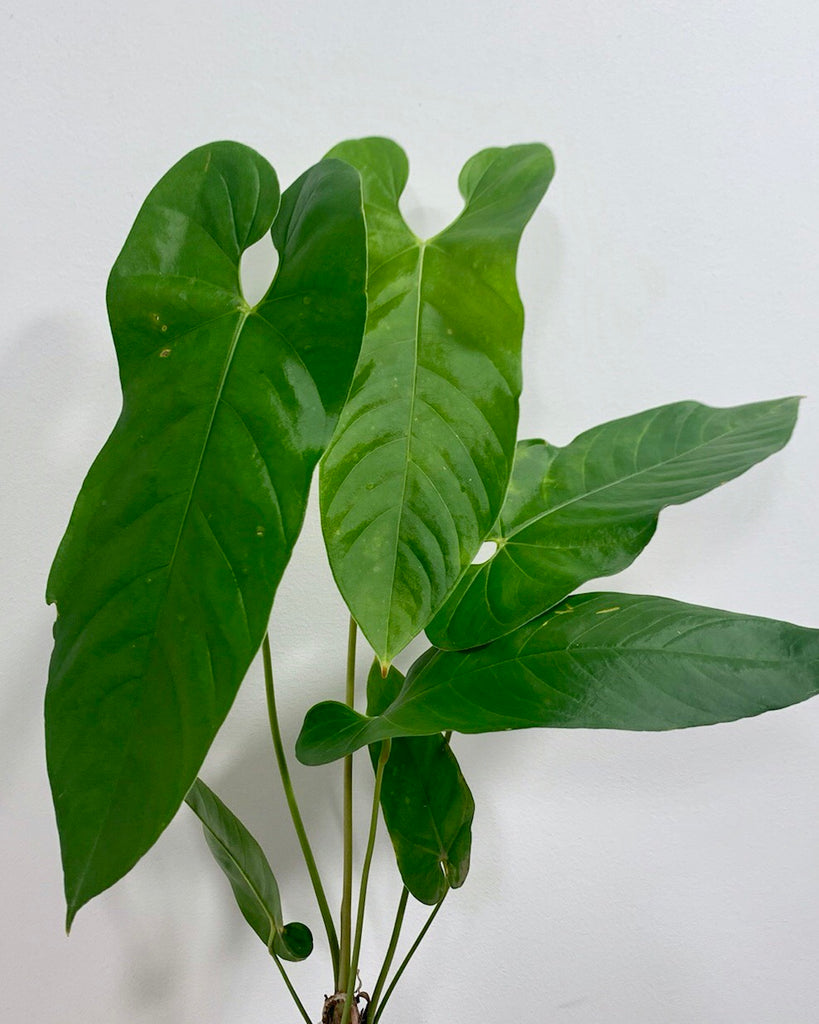 Anthurium Bullatus Small