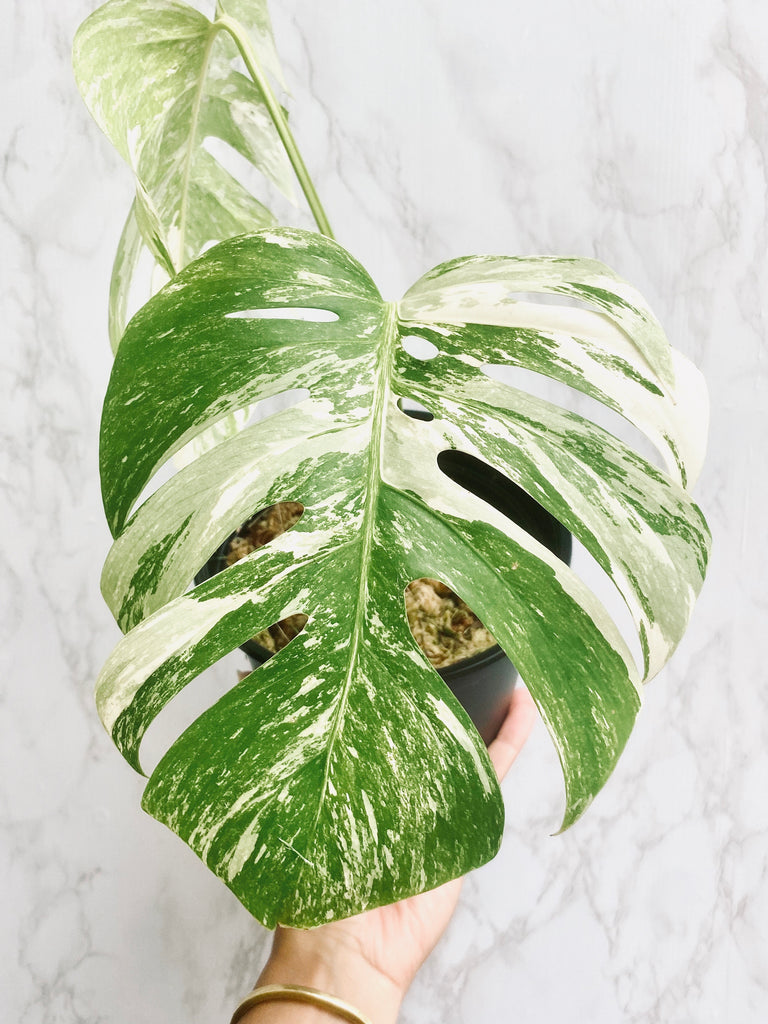 Monstera Albo Variegata