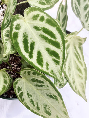 Anthurium Crystallinum Silver Blush Small