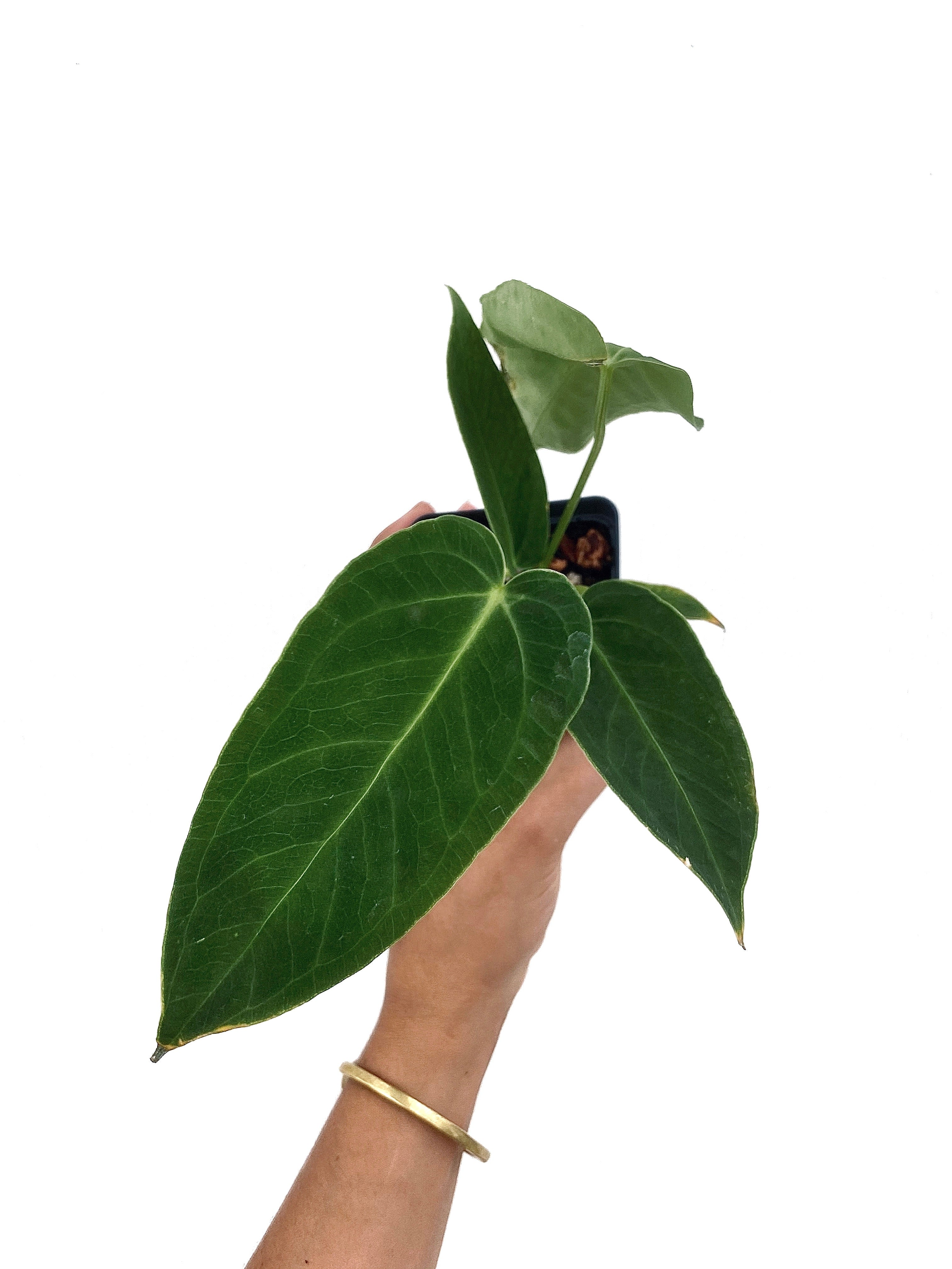 Anthurium Angamarcanum Small
