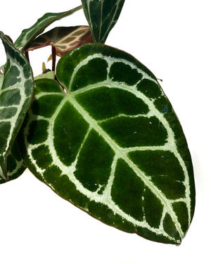 Anthurium Crystallinum Small
