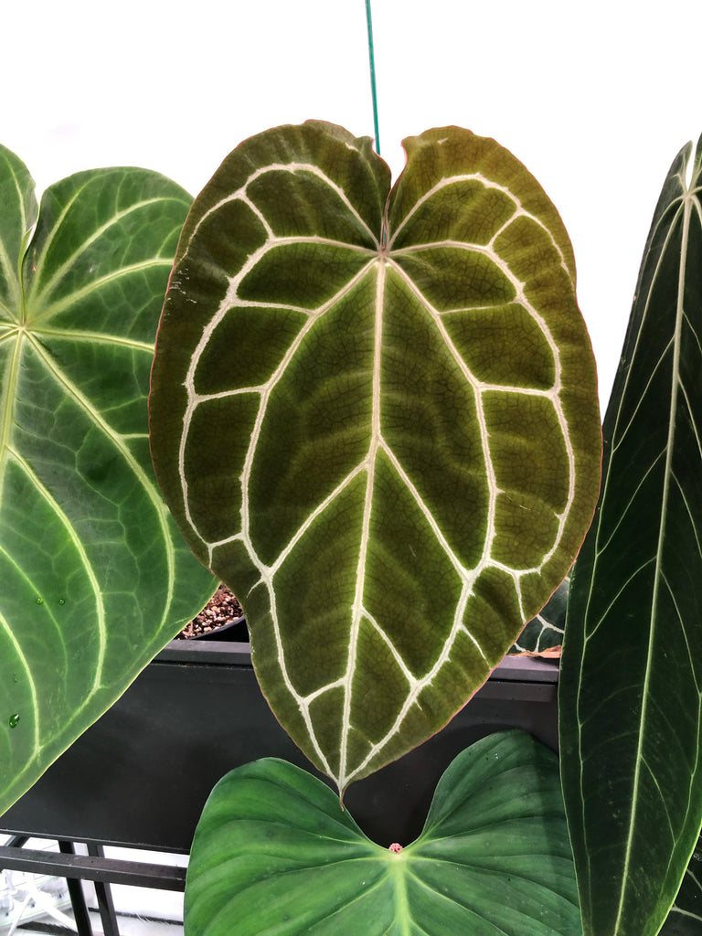 Anthurium Crystallinum Large
